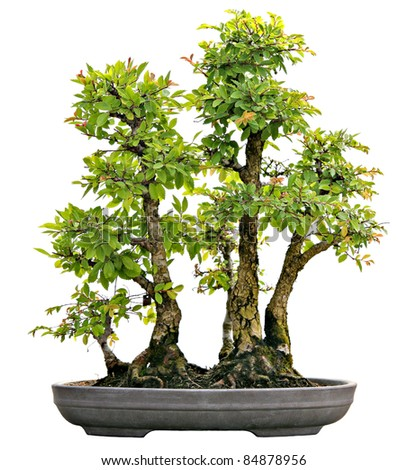 Japanese Evergreen Bonsai on Display Isolated on White Background