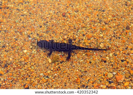 Japanese fire belly newt (Cynops pyrrhogaster) in Japan