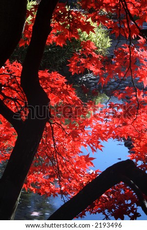 Japanese garden with bright red maple. - stock photo