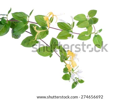 Japanese honeysuckle flowers over white, closeup - stock photo