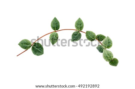 Japanese ivy leaves isolated on white background