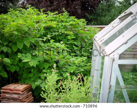 japanese knotweed growing through fence and a greenhouse - stock photo