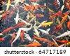 Japanese koi fish - stock photo