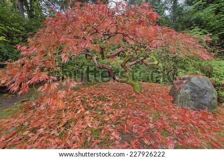 Japanese Lace Leaf Maple Tree Fall Foliage Colors at the Portland Japanese Garden in Autumn Season - stock photo