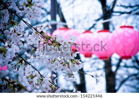 Japanese lanterns on cheery blossom tree  - stock photo