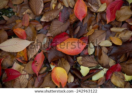 Japanese leaves in autumn - stock photo