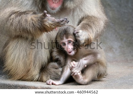 Japanese macaque baby