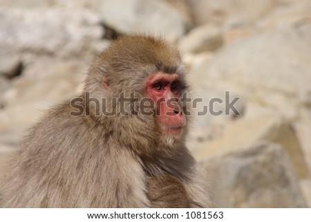 Japanese Macaque in Nagano - stock photo