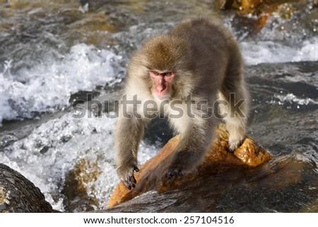 Japanese macaque jumping across stream. - stock photo