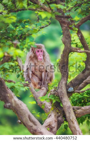 Japanese macaque on the branch, Iwatayama Monkey Park, Arashiyama, Kyoto, Japan - stock photo