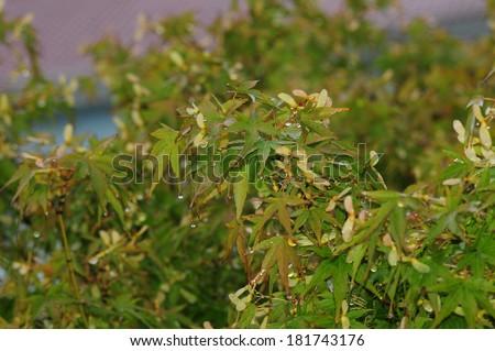 Japanese Maple (Acer palmatum) foliage in rainy weather - stock photo