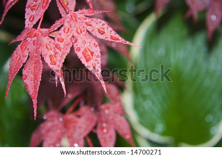 Japanese Maple after the rain II