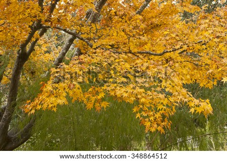 Japanese maple during autumn, leaves are in full color - stock photo