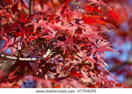 Japanese maple during fall in Akashi castle, Kobe, Japan - stock photo
