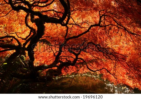 Japanese maple during fall in Kubota Garden, Seattle - stock photo