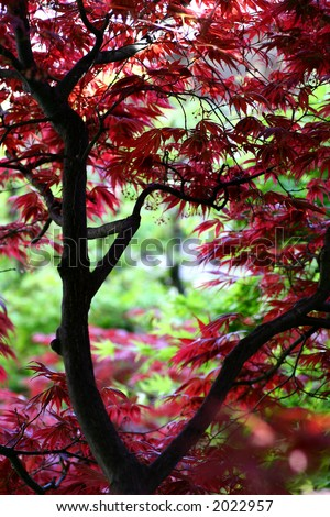 Japanese maple in a japanese garden. Soft focus for a dreamy feel. - stock photo