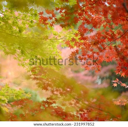 Japanese maple in autumn season - stock photo