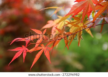 Japanese Maple leaf - stock photo