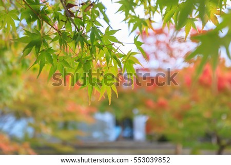 Japanese maple leave close up in autumn season at Byodo-in temple, Kyoto, Japan