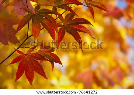 Japanese Maple Leaves in Autumn Color - stock photo