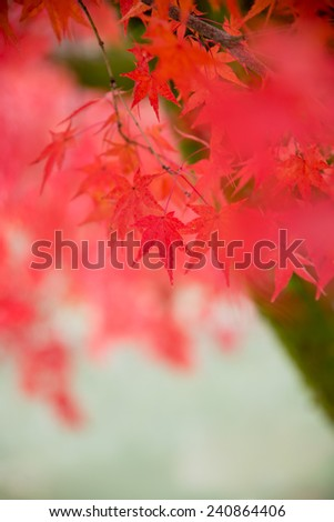Japanese maple leaves in autumn, isolated with selective focus