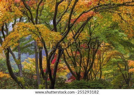 Japanese Maple Tree Canopy at Portland Japanese Garden in Autumn - stock photo