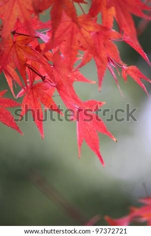 Japanese maple tree in autumn - stock photo