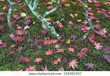 Japanese maple tree with fallen leaves on mossy ground in autumn season at Kyoto Ginkakuji Precinct - stock photo