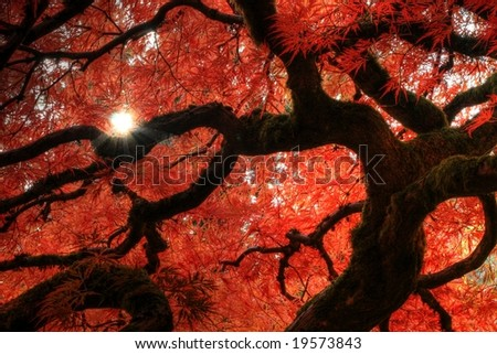 Japanese Maple with sunstar - stock photo