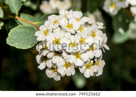 Japanese Meadowsweet (Spiraea japonica) in park, Moscow, Russia