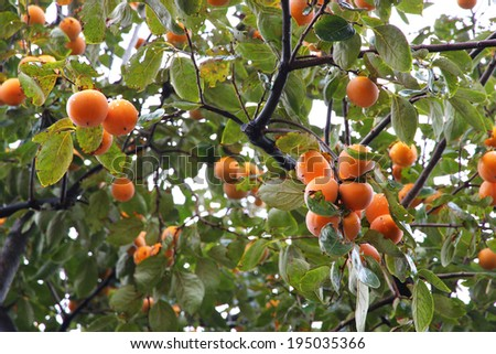 persimmon tree stock images royalty free images vectors shutterstock. Black Bedroom Furniture Sets. Home Design Ideas