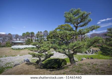 Japanese Pine Tree And Garden In Nagoya, Japan