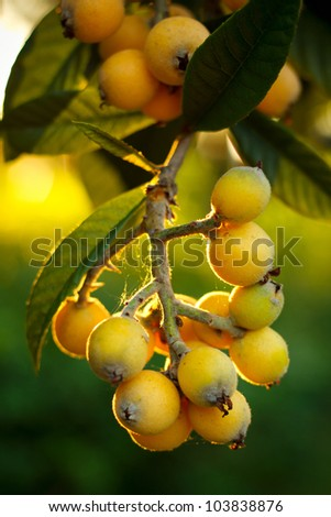 Japanese Plum tree branch at sunset in Lafayette, Louisiana. - stock photo