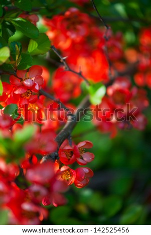 Japanese Quince (Chaenomeles) flowers - stock photo