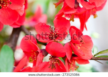 Japanese quince (Chaenomeles japonica) - branches with beautiful flowers and macro details