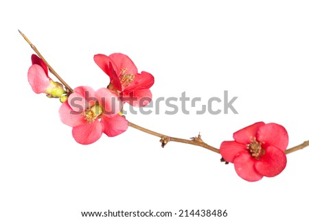 Japanese Quince, Chaenomeles japonica, in bloom. Isolated on white background. - stock photo
