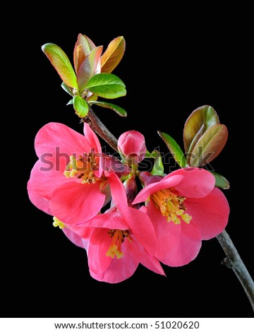 Japanese Quince (Chaenomeles) - Rosaceae - stock photo