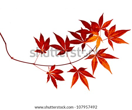 Japanese Red Autumn maple tree leaves (Acer palmatum)  Isolated on white background - stock photo