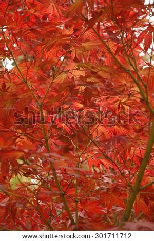 Japanese red maple scene in Autumn - stock photo