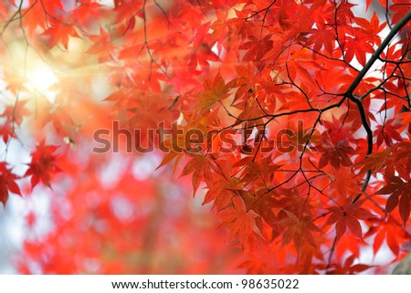 japanese red maple tree background with sunlight, Kyoto - stock photo