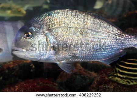 Japanese red seabream (Pagrus major) in Japan - stock photo