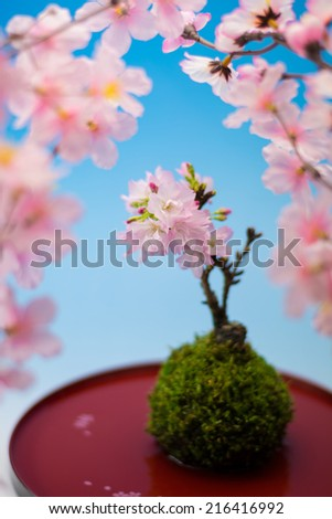 Japanese sakura bonsai