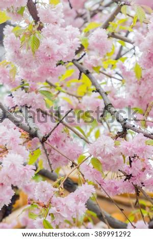 Japanese sakura flowers blooming. Spring pink sakura blossom tree. Spring sakura tree close up view. Beautiful sakura flowers and blooms of sakura tree. Spring sakura flowers. Beautiful sakura flowers - stock photo