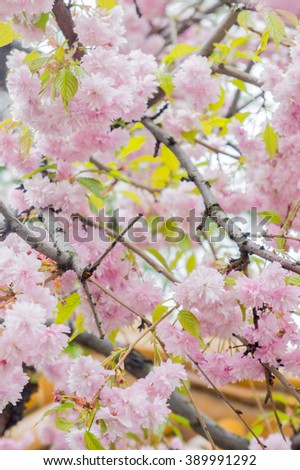 Japanese sakura flowers blooming. Spring pink sakura flower tree. Spring sakura tree close up view. Beautiful sakura flowers and blooms of sakura tree. Spring sakura flowers. Beautiful sakura flowers - stock photo