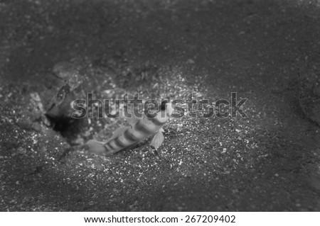 Japanese Shrimp Goby-Amblyeleotris japonica, Kanagawa Prefecture/Japan, 2010/9/4.  - stock photo