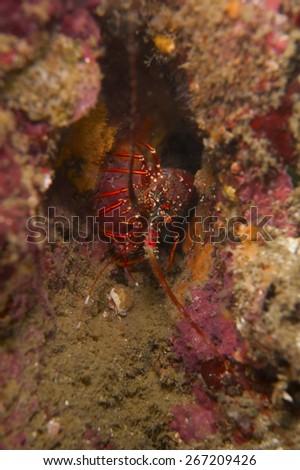 Japanese Spiny Lobster-Panulirus japonicus, Kanagawa Prefecture/Japan, 2010/10/17.  - stock photo
