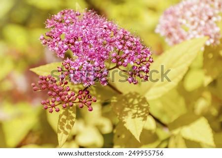 Japanese Spiraea (Rosaceae Spiraea Japonica) - stock photo