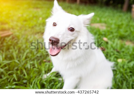 Japanese Spitz dog happy on the grass - stock photo