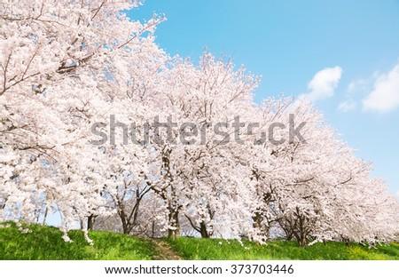 Japanese spring scenics with Yoshino cherry - stock photo