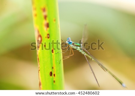 Japanese swamp damselfly (Lestes japonicus) in Japan
